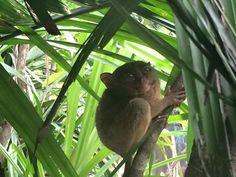 Tarsier Monkeys, Bohol