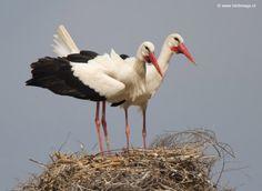 ooievaar-white-stork-14
