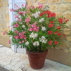 Oleander Tricolour - 3 colours in one pot https://en.wikipedia.org/wiki/Nerium