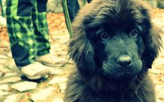 Download wallpapers Newfoundland, puppy, dogs, cute animals, Newfoundland Dog