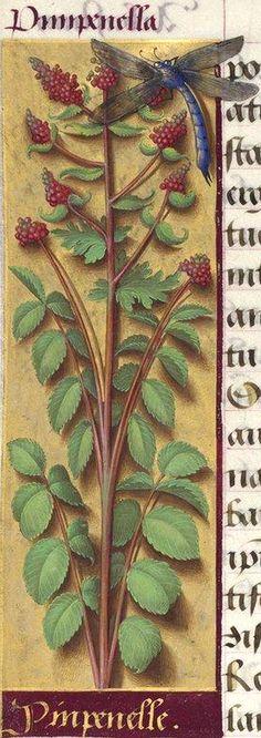 Pinpenelle - Pimpenella (Poterium Sanguisorba L. = pimprenelle) -- Grandes Heures d'Anne de Bretagne, BNF, Ms Latin 9474, 1503-1508, f°229v
