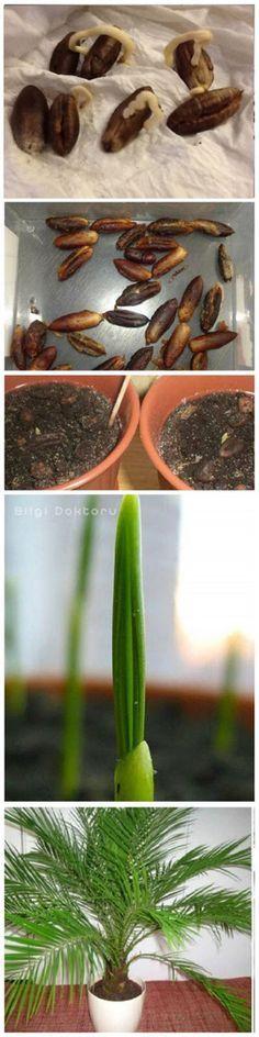 #çekirdek #hurma #yetiştirme Herb Garden, Garden Pots, Zone 9 Gardening, Gardening Books, Garden Express, Plant Breeding, Garden Whimsy, Exotic Plants, Garden Planning