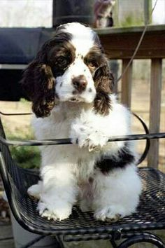 """Receive wonderful pointers on """"American cocker spaniel"""". They are available for you on our site. American Cocker Spaniel, Cocker Spaniel Puppies, English Springer Spaniel, Spaniel Dog, Spaniels, Cute Puppies, Cute Dogs, Dogs And Puppies, Doggies"""