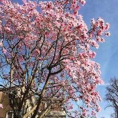 From our friends at Bristol  @universityofbristol - Today's celebration of spring comes from new instagrammers-on-campus @unibrisgardens who are showcasing the many beautiful grounds in their care.  This Campbell's magnolia is in full bloom at Clifton Hill House.  #wearebristoluni #universityofbristol #bristoluni #goviewyou #cliftonhillhouse