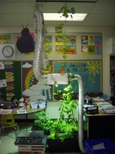 Our Grade One French Immersion classes have gardens in their classrooms, thanks to Agriculture in the Classroom and Little Green Thumbs!  Mme Bilodeau's Morning Glory reaches the ceiling and has over 30 flowers waiting to pop out!  Wow!