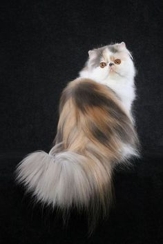 persian cat.  I want this one ;)
