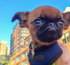 Bring it on World! Dog Pictures, Cute Pictures, Griffon Bruxellois, Brussels Griffon, Artwork Ideas, Adorable Dogs, Pekingese, I Love Dogs, Funny Dogs