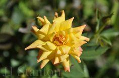Yellow Rose Art print. Fine Art by JJStantonPhotography on Etsy, $33.00