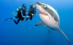 Two divers look at a great white during a dive without shark cages in the waters off the coast of Mexico.  Deep sea photographer Daniel Botelho  took a series of pictures on a recent trip to a remote island off the coast of Mexico. The award-winning nature photographer insisted that while great white sharks are top-predators they very rarely regard humans as food...