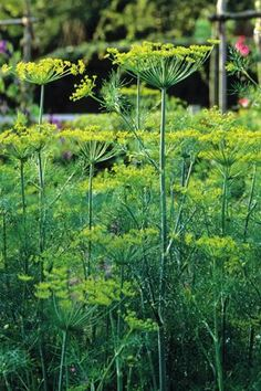 Anethum Graveolens - Dill - a brilliant, acid-green filler, use leaves and seeds for cooking, flowers for decorating salads and arranging -  will self-sow freely.