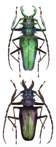 Psalidognathus superbus 2 different colors