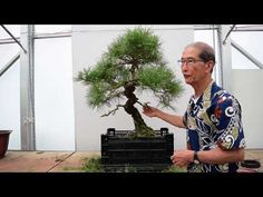 I have had this Japanese Black Pine since about 1974 and it is more like an old friend than a bonsai to me. In this video I prune and shape this old tree. Japanese Tree, Bonsai Trees, Year Old, Pine, Gardens, Shapes, Youtube, Plants, Black