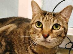 TO BE DESTROYED 10/23/14 ** Stitch was displaying good behavior; interacted with the assessor after using soft voices. Allows petting after a slow approach but remained cautious, she was not tolerant of handling part ** Brooklyn Center My name is STITCH. My Animal ID # is A1017182. I am a spayed female brn tabby domestic sh mix. The shelter thinks I am about 6 YEARS old. OWNER SUR on 10/11/2014 from NY 11212, PETS CONFL.