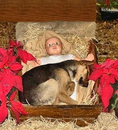 A Nativity scene was erected in a churchyard. During the night folks came across a unique, and real life, special Nativity scene.     An abandoned dog was looking for a comfortable and protected place to sleep. So, he chose baby Jesus as his comforter and protector. No one had the heart to send him away, so he slept peacefully in the lap of the baby Jesus all night long. It looks like the dog is smarter than some people are.