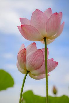 When I'm with you I don't feel so alone. Lotus Flower Wallpaper, Lily Wallpaper, Lotus Flower Art, Most Beautiful Flowers, Exotic Flowers, Love Flowers, Lotus Flower Pictures, Flower Power, Water Lily Tattoos