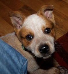 Red Heeler puppy