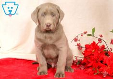 This handsome Siiver Lab puppy is a ball of joy and you will surely fall in love with him. This puppy is raised with children and well socialized. Puppies For Sale, Dogs And Puppies, Silver Labrador Retriever, Handmade Dog Collars, Falling In Love With Him, Dog Gifts, Your Dog, Cute Animals, Handsome