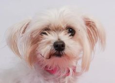 Adopt Harper, a lovely 7 years  3 months Dog available for adoption at Petango.com.  Harper is a Maltese and is available at the National Mill Dog Rescue in Colorado Springs, Co. www.milldogrescue... #adoptdontshop #puppymilldog #rescue #adoptyourfriendtoday