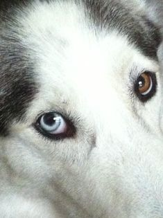 These eyes belong to one of our #adoptable #Siberian #Huskies. GUS is available for #adoption in #Florida from our #rescue: www.siberrescue.com Please apply to #adopt GUS today!