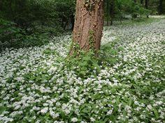 Bärlauch: leckeres Würzmittel, fantastisch für Darmflora und gut gegen Bluthochdruck. Wild oder im Garten, die Bärlauchsaison solltest du nicht verpassen!