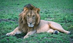 """The #lion it is a muscular, deep-chested #cat with a short, rounded head, a reduced neck and round ears, and a hairy tuft at the end of its tail. Is the most social of all #wild felid species, living in groups of related individuals with their offspring. Such a group is called a """"pride"""". Typically, the lion inhabits grasslands and savannas, but is absent in dense forests. ⠀⠀⠀⠀⠀⠀⠀⠀⠀📷 Credit: Edgar Chomba. #león #wearpet #photo #aslan #animal #leão #gato #africa #hunter #leone #predator #chat Pets Online, Online Pet Store, Wild Animals Pictures, Animal Pictures, Animal Species, Wild Nature, Predator, Lion, Africa"""