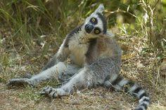 Ringtailed Lemur    Ringtailed Lemur (Lemur catta).  Antananarivo Lemur Park, Madagascar.  Vulnerable and endemic to Madagascar.