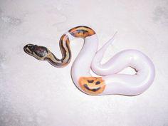 A cool Jack-O-Lantern on this Ball Python