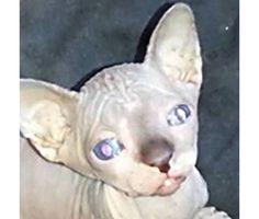 hairless kittens available for adoption sphynx is a Female Sphynx Kitten For Sale in Murrieta CA