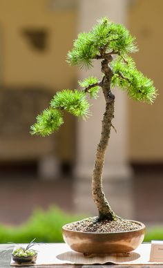 How to choose the right seeds for your bonzai and how to keep it. Bonsai Trees For Sale, Bonsai Tree Types, Bonsai Tree Care, Indoor Bonsai Tree, Mini Bonsai, Bonsai Plants, Bonsai Garden, Indoor Plants, Plantas Bonsai