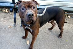 SAFE❤️❤️ 11/15/16 BY SECOND CHANCE RESCUE❤️❤️ THANK YOU❤️❤️ Manhattan Center My name is CHILI. My Animal ID # is A1096324. I am a male brown and white pit bull mix. The shelter thinks I am about 2 YEARS I came in the shelter as a STRAY on 11/08/2016 from NY 11224, owner surrender reason stated was STRAY. http://nycdogs.urgentpodr.org/chilli-a1096324/
