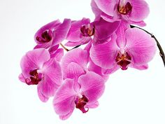 L'annaffiatura dell'orchidea Pretty In Pink, Flowers, Plants, Gaia, Green, Tropical, Plant, Royal Icing Flowers, Flower