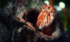 coruja vermelha de madagascar - Bing images