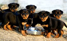 #freepetcare Rottweiler is an Alert, Good-natured, Steady, Devoted, Obedient, Self-assured, Courageous, Calm, Fearless, Confident