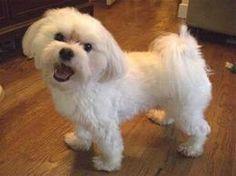 Maltese with a puppy cut. Soo precious!
