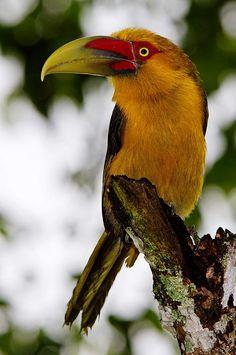 Saffron Toucanet, Argentina, Brazil, Paraguay  Birding Tours - Worldwide Birding Adventures