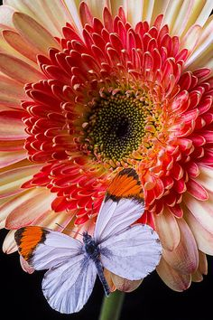 butterfly on daisy | Garry Gay, Fine Art America