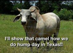 Texas Hump Day