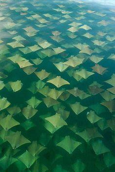 Amazing photo of mass amount of Cownose rays.