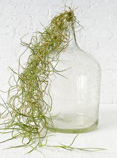 air plant moss