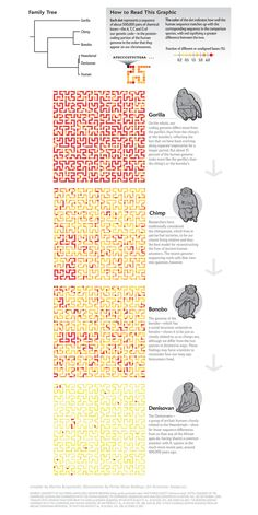 Tiny Genetic Differences between Humans and Other Primates Pervade the Genome [Scientific American, September Graphic by Martin Krzywinski, Illustrations by Portia Sloan Rollings] See credits included at bottom of image for sources Information Visualization, Data Visualization, Information Design, Information Graphics, Social Science, Science And Technology, Scientific American Magazine, Nature Design, Scientific Journal