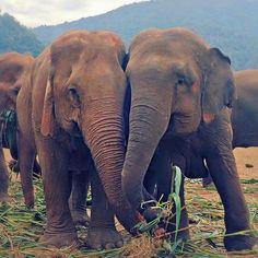 Cuddly elephants in Thailand. Purple Elephant, Elephant Walk, Elephant Love, Animals Beautiful, Cute Animals, Wild Animals, Beautiful Things, Thailand Elephants, Spirit Animal