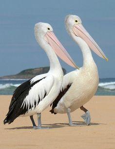 """Australian Pelican """"Bilbungra"""", Penguin Island, Australia"""