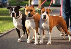 American Staffordshire Terrier - Tout ce que vous devez savoir sur la race American Staffordshire Terriers, Pet Dogs, Dog Cat, Doggies, American Pitbull, Terrier Breeds, Large Dog Breeds, Pitbull Terrier, Animal Design