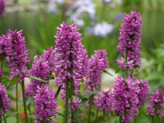 Stachys : macrantha : monieri Hardy Perennials, Flowers, Pharmacy, Garten, Royal Icing Flowers, Flower, Florals, Bloemen, Blossoms