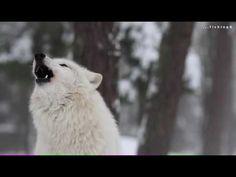#suskun #suskunn #Murat #celep #Muratcelep #Türk #Bayrak #Vatan #Bozkurt #Turan #wolf #lonelywolf #graywolf