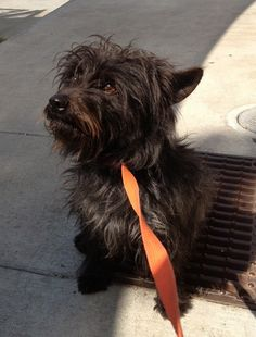 Col. Potter Cairn Rescue Network: Col. Potter rescues ROOSEVELT - Adopted!  more cairns need homes at cairnrescue.com