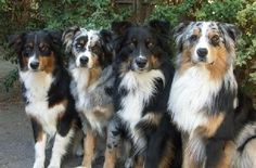 When we get a dog this is the one I want: 'Australian Shepherd' xrodgers