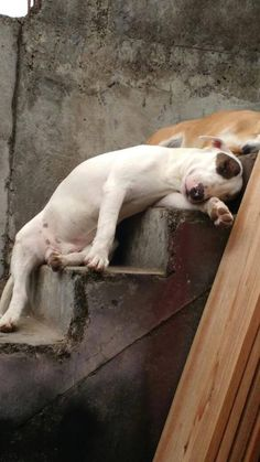 I am to tired I think it's time for a nap … Best Dog Breeds, Best Dogs, I Love Dogs, Cute Dogs, Bull Terrier Funny, Mini Bullterrier, Nanny Dog, English Bull Terriers, Dogs And Puppies