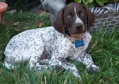 Maggie the German Shorthaired Pointer