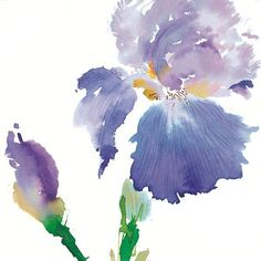 Purple Iris: D. Haggman Watercolors Aren't the colors wonderful? Description from pinterest.com. I searched for this on bing.com/images